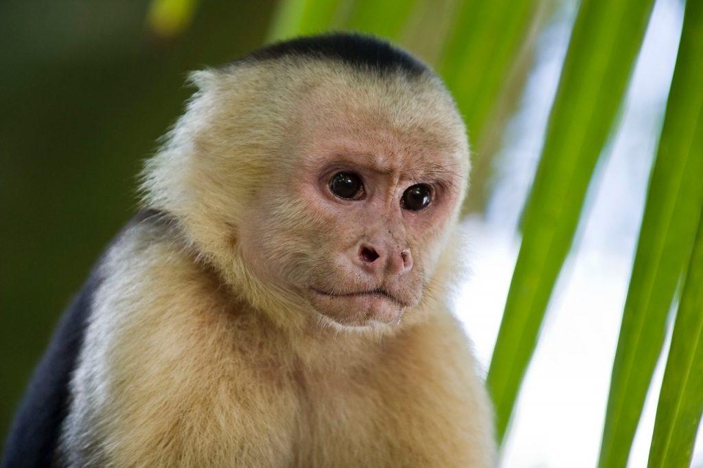 monkey, primates, capuchin