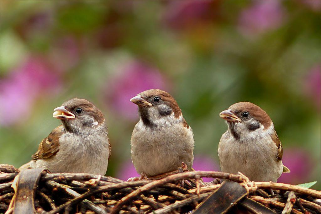 sparrows, passer domesticus, bird